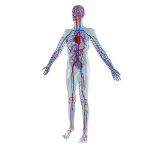 Blood Circulation in the Body